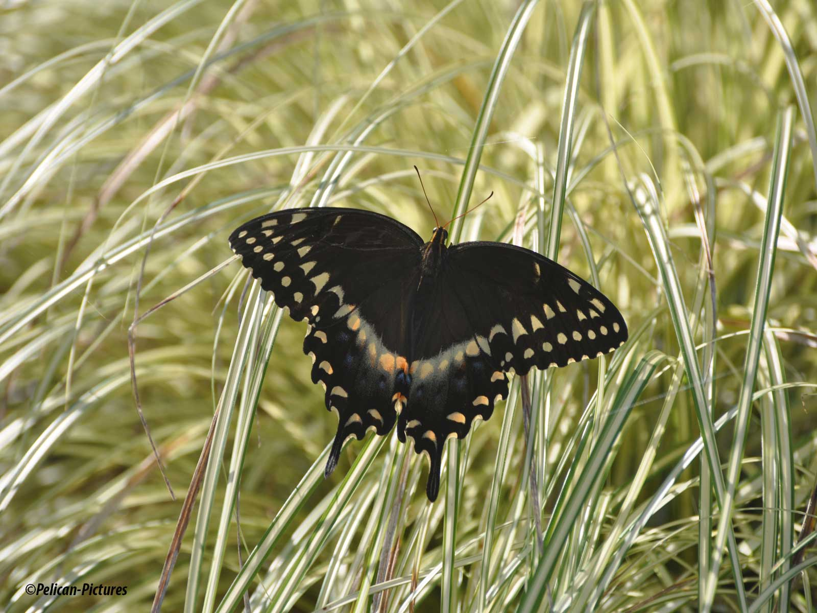 Blact Swallowtail At Rest Pelican-Pictures