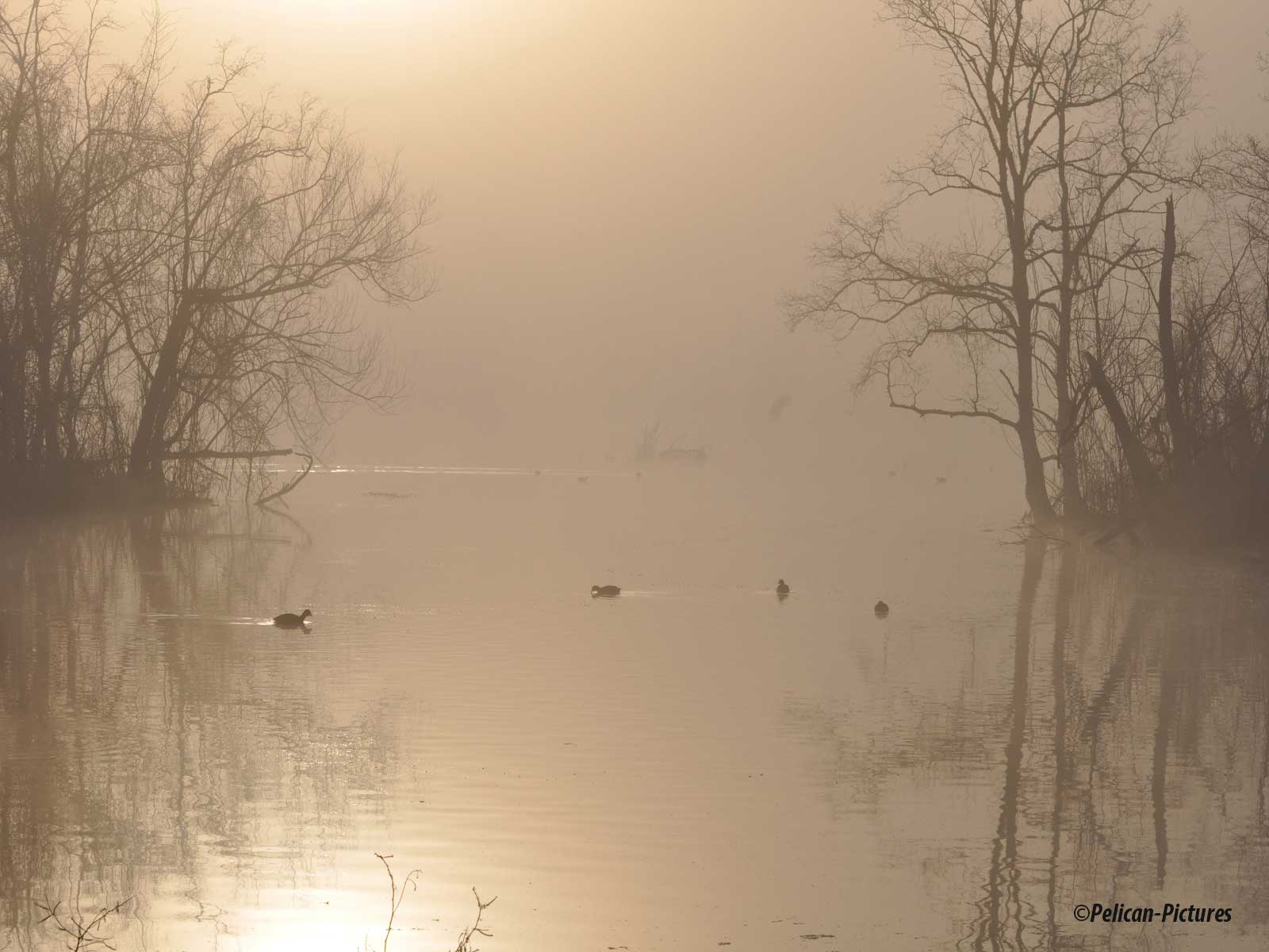 ducks-in-the-fog-pelican-pictures