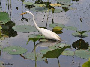Great Egret Pelican-Pictures