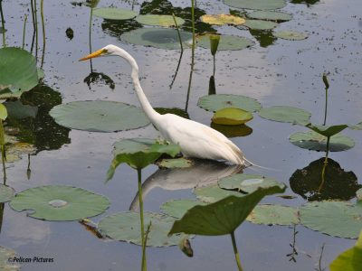 Great Egret Pelican-Pictures
