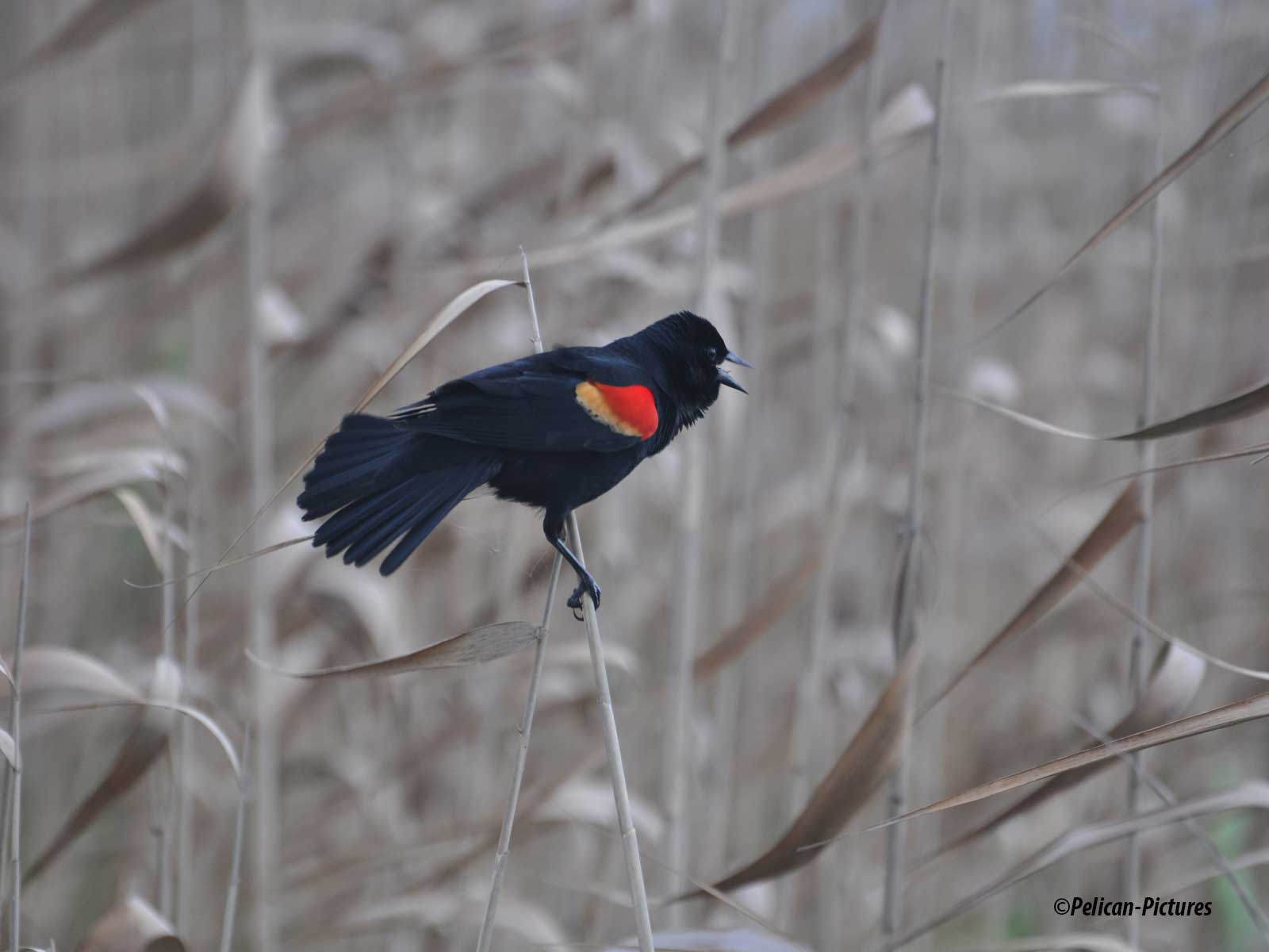 red-winged-blackbird-pelican-pictures