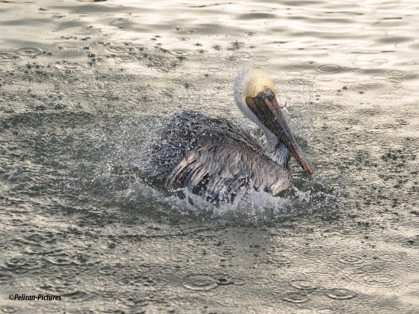 Shaken Not Stirred Pelican-Pictures